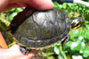 River_cooter_turtle